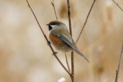 Boreal Chickadee Poecile hudsonicus Trail 56, Parc de la Gatineau, Ste-Cécile-de-Masham, Québec 9 December 2012