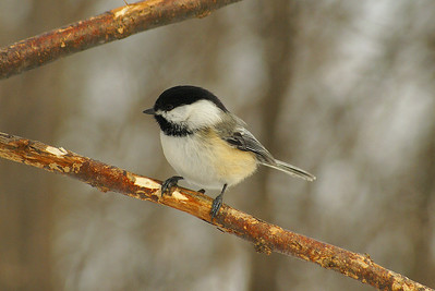 Black-capped Chickadee Nominate subspecies Poecile atricapillus atricapillus Nortel Campus, Ottawa, Ontario 17 February 2011