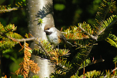 Boreal Chickadee Poecile hudsonicus North Pole Mountain, Christmas Mountains, New Brunswick 9 June 2010