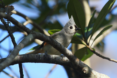 Tufted Titmouse Baeolophus bicolor Lake Wales Ridge State Forest, Frostproof, Florida 27 December 2016