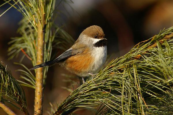 Boreal Chickadee Poecile hudsonicus Trail 56, Parc de la Gatineau, Ste-Cécile-de-Masham, Québec 15 December 2012