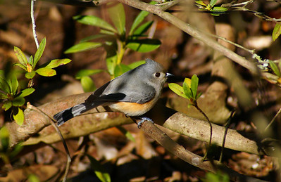 Tufted Titmouse Baeolophus bicolor Brookgreen Gardens, Murrell's Inlet, South Carolina 5 March 2009