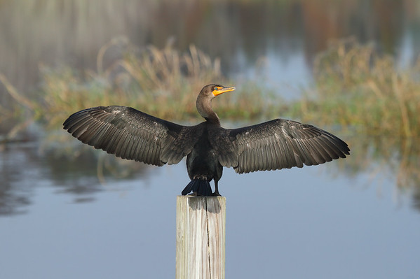 "Double-crested Cormorant ""Florida"" subspecies Phalacrocorax auritus floridanus Family Phalacrocoracidae Circle B Bar Reserve, Lakeland, Florida 13 December 2016"