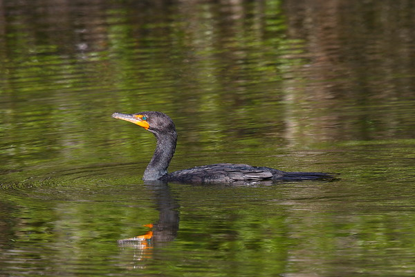 "Double-crested Cormorant ""Florida"" subspecies Phalacrocorax auritus floridanus Family Phalacrocoracidae Big Cypress National Preserve, Ochopee, Florida 31 January 2017"