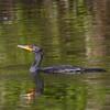 "Double-crested Cormorant<br> ""Florida"" subspecies<br> <i>Phalacrocorax auritus floridanus</i><br> Family <i>Phalacrocoracidae</i><br> Big Cypress National Preserve, Ochopee, Florida<br> 31 January 2017"