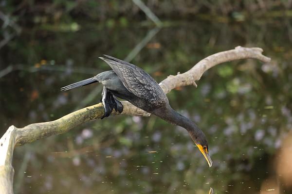 "Double-crested Cormorant ""Florida"" subspecies Phalacrocorax auritus floridanus Family Phalacrocoracidae Circle B Bar Reserve, Lakeland, Florida 11 December 2019"