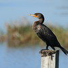 "Double-crested Cormorant<br> ""Florida"" subspecies<br> <i>Phalacrocorax auritus floridanus</i><br> Family <i>Phalacrocoracidae</i><br> Circle B Bar Reserve, Lakeland, Florida<br> 2 February 2017"