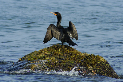 Double-crested Cormorant Nominate subspecies Phalacrocorax auritus auritus Family Phalacrocoracidae Napatree Point, Watch Hill, Rhode Island 23 July 2011