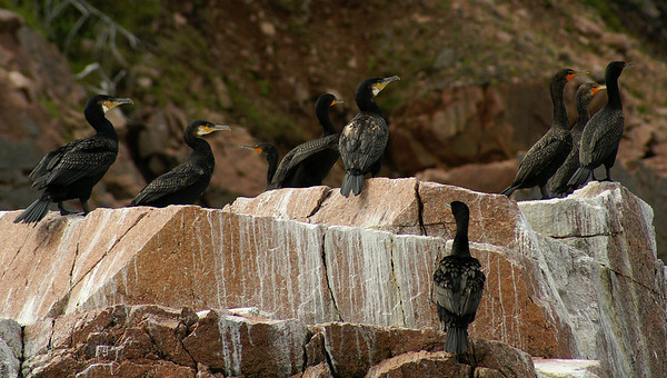 Great Cormorant Nominate subspecies Phalacrocorax carbo carbo Family Phalacrocoracidae St. Ann's Bay, Englishtown, Nova Scotia 11 August 2009