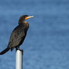 "Double-crested Cormorant<br> ""Florida"" subspecies<br> <i>Phalacrocorax auritus floridanus</i><br> Family <i>Phalacrocoracidae</i><br> Circle B Bar Reserve, Lakeland, Florida<br> 15 March 2017"
