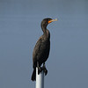 "Double-crested Cormorant<br> ""Florida"" subspecies<br> <i>Phalacrocorax auritus floridanus</i><br> Family <i>Phalacrocoracidae</i><br> Circle B Bar Reserve, Lakeland, Florida<br> 13 December 2016"