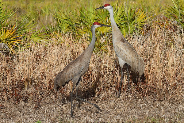 "Sandhill Crane ""Florida"" subspecies Grus canadensis pratensis Family Gruidae Avon Park Air Force Range, Polk County, Florida 30 March 2018"