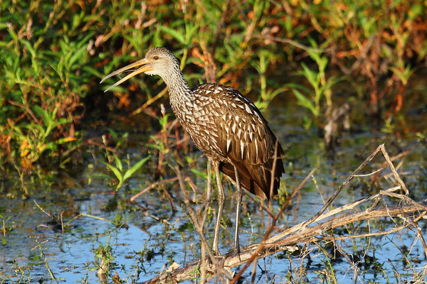 "Limpkin ""Speckled"" subspecies Aramus guarauna pictus Family Aramidae Circle B Bar Reserve, Lakeland, Florida 15 November 2017"