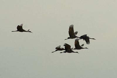 Sandhill Crane Nominate subspecies Grus canadensis canadensis Family Gruidae Navan, Ontario 7 November 2011