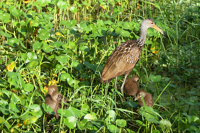"Limpkin ""Speckled"" subspecies Aramus guarauna pictus Family Aramidae Circle B Bar Reserve, Lakeland, Florida 4 October 2016"