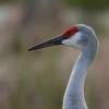 "Sandhill Crane<br> ""Greater"" subspecies<br> <i>Grus canadensis tabida</i><br> Family <i>Gruidae</i><br> Viera Wetlands, Melbourne, Florida<br> 10 January 2017"