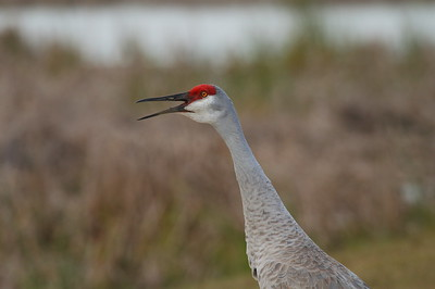 "Sandhill Crane ""Greater"" subspecies Grus canadensis tabida Family Gruidae Viera Wetlands, Melbourne, Florida 10 January 2017"