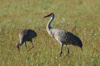"Sandhill Crane ""Florida"" subspecies Grus canadensis pratensis Family Gruidae Sebring, Florida 20 September 2016"