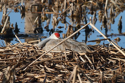 "Sandhill Crane ""Greater"" subspecies Grus canadensis tabida Family Gruidae Viera Wetlands, Melbourne, Florida 20 February 2017"