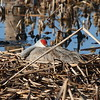 "Sandhill Crane<br> ""Greater"" subspecies<br> <i>Grus canadensis tabida</i><br> Family <i>Gruidae</i><br> Viera Wetlands, Melbourne, Florida<br> 20 February 2017"