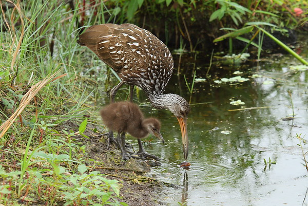 "Limpkin ""Speckled"" subspecies Aramus guarauna pictus Family Aramidae Circle B Bar Reserve, Lakeland, Florida 22 November 2017"