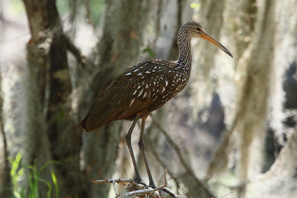 "Limpkin ""Speckled"" subspecies Aramus guarauna pictus Family Aramidae Circle B Bar Reserve, Lakeland, Florida 6 March 2018"