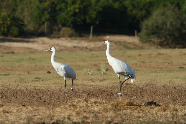 Whooping Crane Grus americana Family Gruidae Lake Wales, Florida 26 December 2017