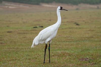Whooping Crane Grus americana Family Gruidae Lake Wales, Florida 01 January 2018