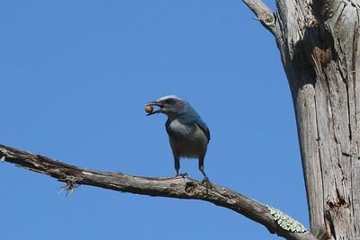 Florida Scrub Jay Aphelocoma coerulescens Lake Wales Ridge State Forest, Frostproof, Florida 27 September 2016