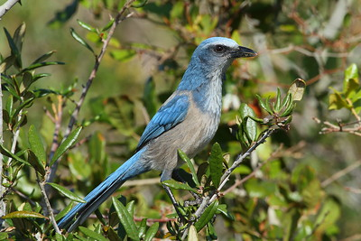 Florida Scrub Jay Aphelocoma coerulescens Lake June-in-Winter Scrub State Park, Lake Placid, Florida 28 November 2017