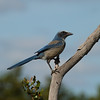 Florida Scrub Jay<br> <i>Aphelocoma coerulescens</i><br> Lake Wales Ridge Wildlife & Environmental Area, Avon Park, Florida<br> 25 October 2016