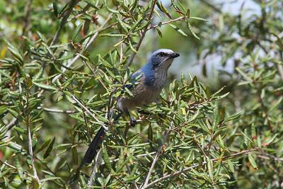 Florida Scrub Jay Aphelocoma coerulescens Lake Wales Ridge Wildlife & Environmental Area, Avon Park, Florida 20 September 2016