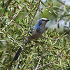 Florida Scrub Jay<br> <i>Aphelocoma coerulescens</i><br> Lake Wales Ridge Wildlife & Environmental Area, Avon Park, Florida<br> 20 September 2016