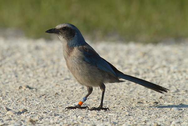 Florida Scrub Jay Aphelocoma coerulescens Avon Park Air Force Range, Polk County, Florida 17 May 2019
