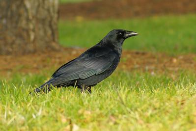 American Crow Corvus brachyrhynchos Riverrain Park, Ottawa, Ontario 13 November 2010