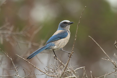 Florida Scrub Jay Aphelocoma coerulescens Lake June-in-Winter Scrub State Park, Lake Placid, Florida 21 February 2017