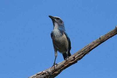 Florida Scrub Jay Aphelocoma coerulescens Lake Wales Ridge State Forest, Frostproof, Florida 27 September 2016
