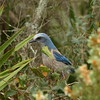 Florida Scrub Jay<br> <i>Aphelocoma coerulescens</i><br> Lake June-in-Winter Scrub State Park, Lake Placid, Florida<br> 21 February 2017
