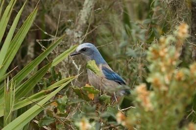 Florida Scrub Jay Aphelocoma coerulescens Lake June-in-Winter Scrub State Park, Lake Placid, Florida 21 February 2017