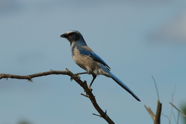 Florida Scrub Jay Aphelocoma coerulescens Lake Wales Ridge Wildlife & Environmental Area, Avon Park, Florida 25 October 2016