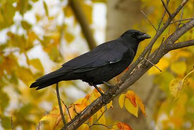 American Crow Corvus brachyrhynchos Dow's Lake, Ottawa, Ontario 17 October 2012
