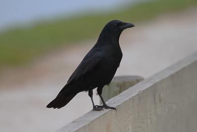 Fish Crow Corvus ossifragus Ackerman Park, Sarasota, Florida 1 January 2017