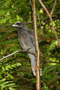 Grey Jay (juvenile) Nominate subspecies Perisoreus canadensis canadensis Mt. Mitchell, Christmas Mountains, New Brunswick 12 July 2010