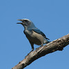 Florida Scrub Jay<br> <i>Aphelocoma coerulescens</i><br> Lake Wales Ridge State Forest, Frostproof, Florida<br> 27 September 2016