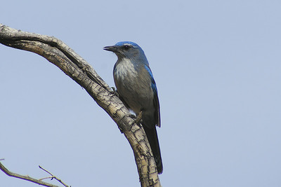 Woodhouse's Scrub Jay Aphelocoma woodhouseii Pine Grove, Red Rock Canyon National Conservation Area, Nevada 7 November 2010