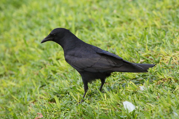 Fish Crow Corvus ossifragus Lake Mirror, Lakeland, Florida 19 February 2018
