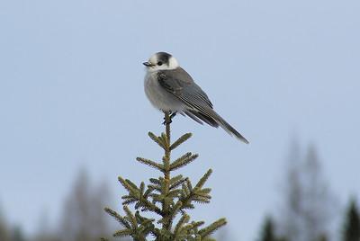 Grey Jay Nominate subspecies Perisoreus canadensis canadensis Opeongo Road, Algonquin Provincial Park, Ontario 26 February 2012