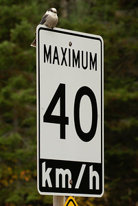 Grey Jay Nominate subspecies Perisoreus canadensis canadensis Opeongo Road, Algonquin Provincial Park, Ontario 22 October 2012