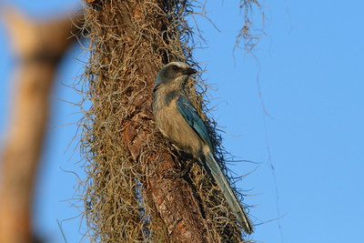 Florida Scrub Jay Aphelocoma coerulescens Lake June-in-Winter Scrub State Park, Lake Placid, Florida 28 April 2018