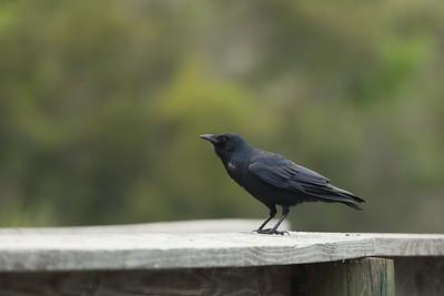 Fish Crow Corvus ossifragus Lake Istokpoga, Sebring, Florida 19 February 2021